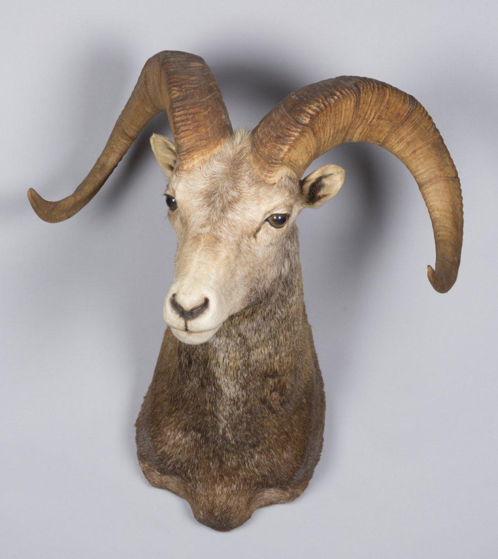 Big Horn Sheep Taxidermy Mount