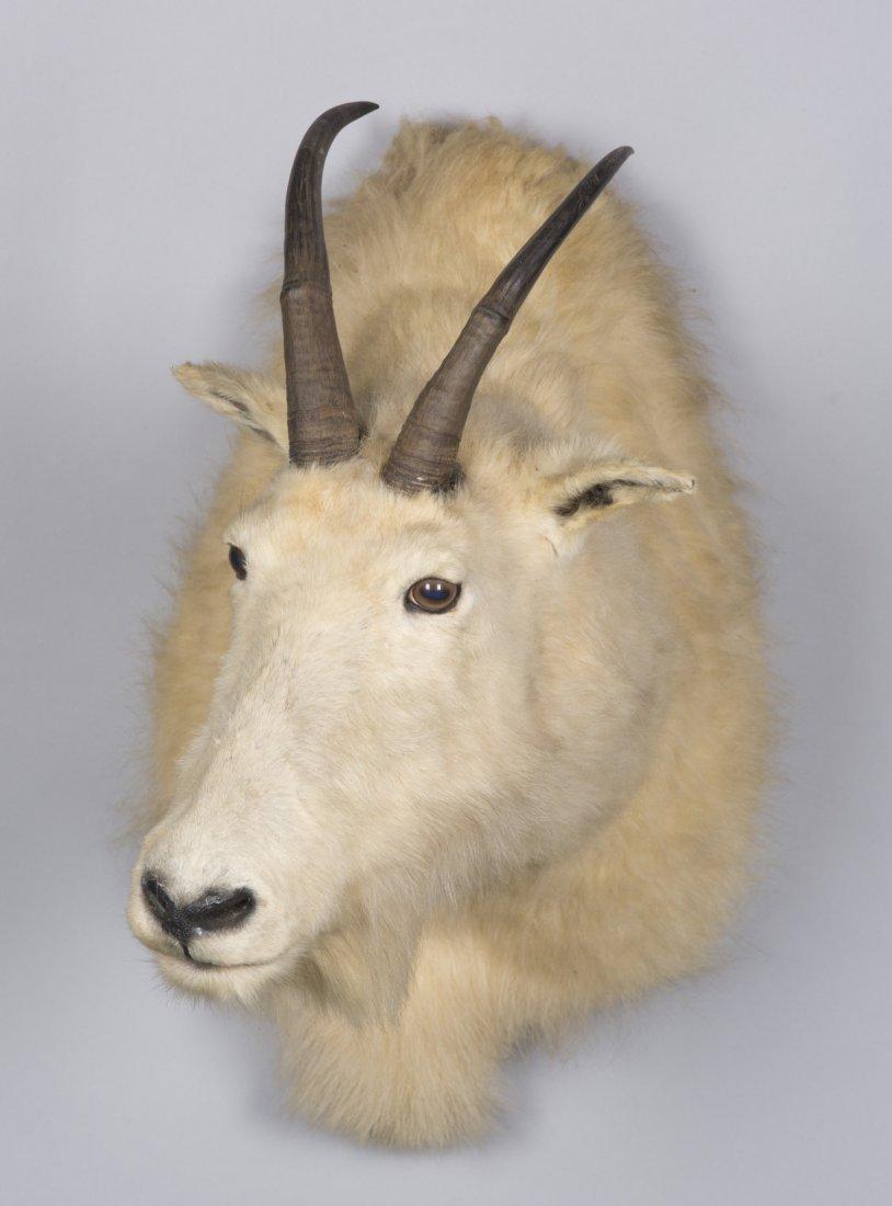 White Mountain Goat Taxidermy Mount