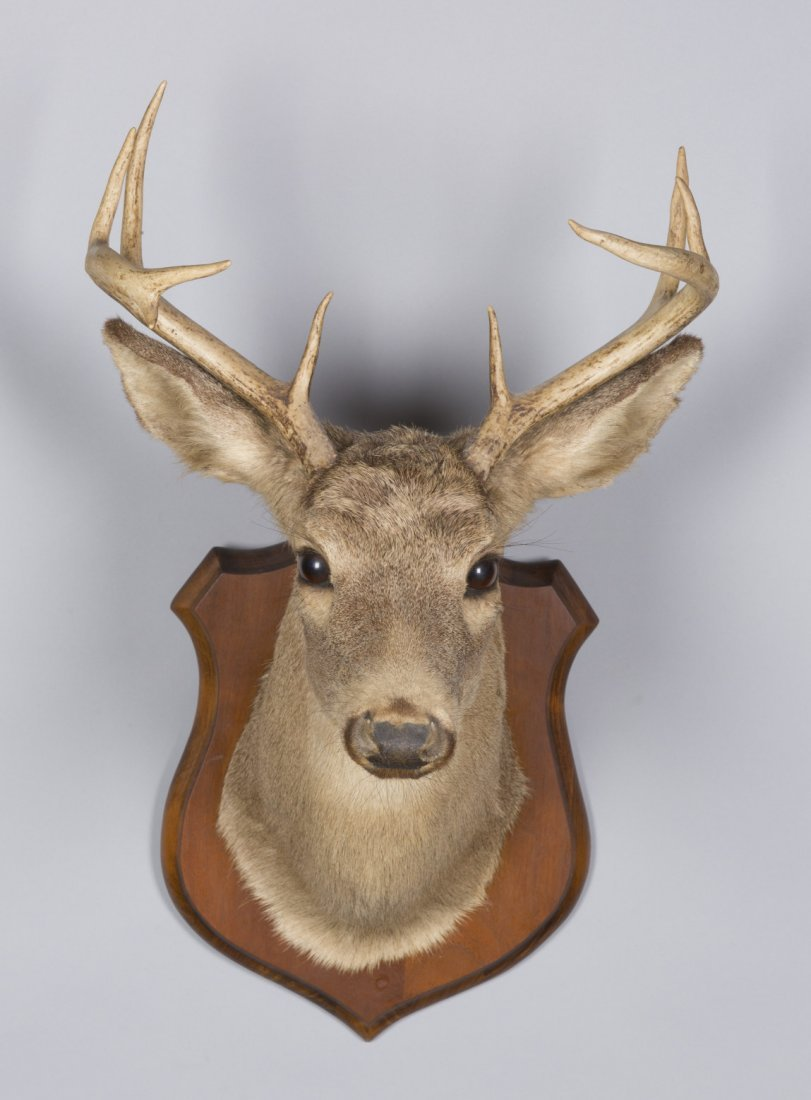 Six Point Deer Taxidermy Mount