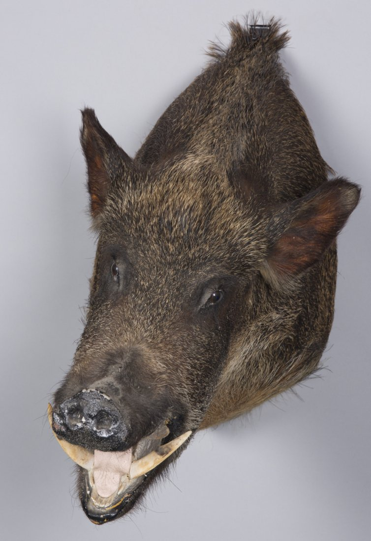 Wild Boar Taxidermy Mount