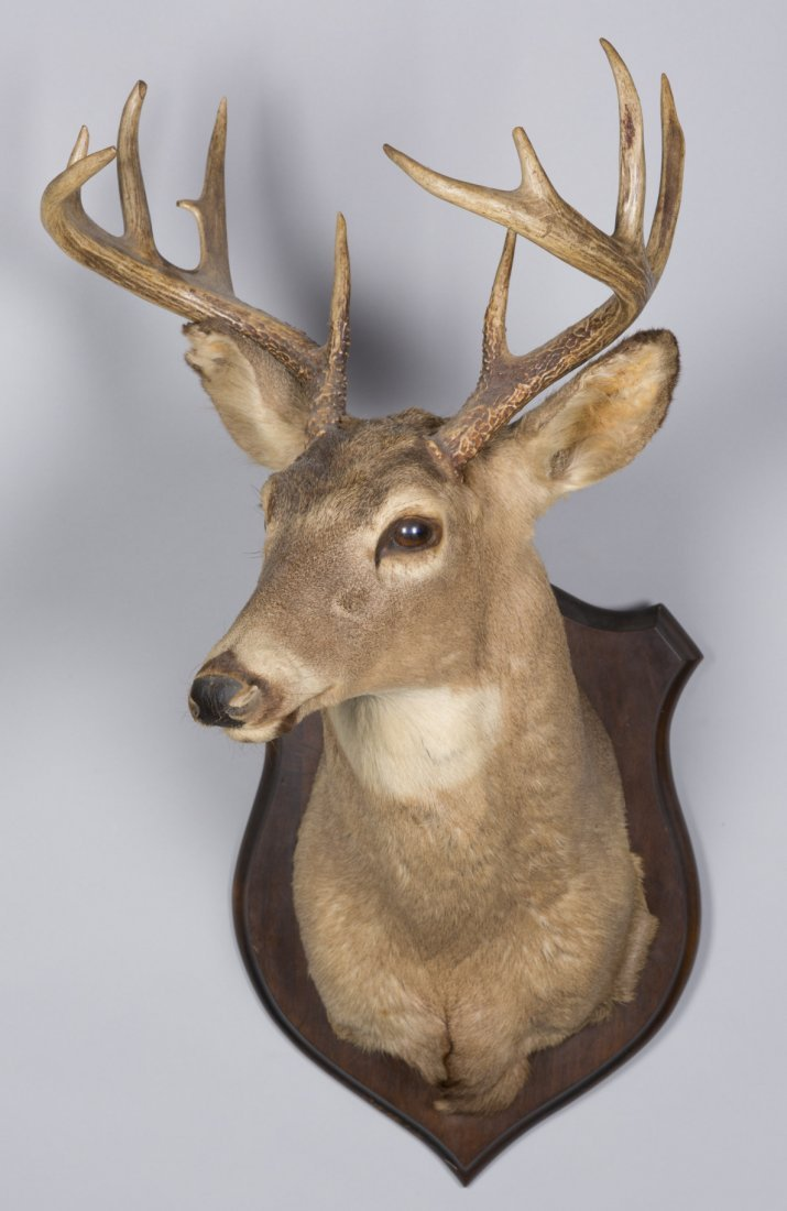 Eight Point Taxidermy Deer Mount