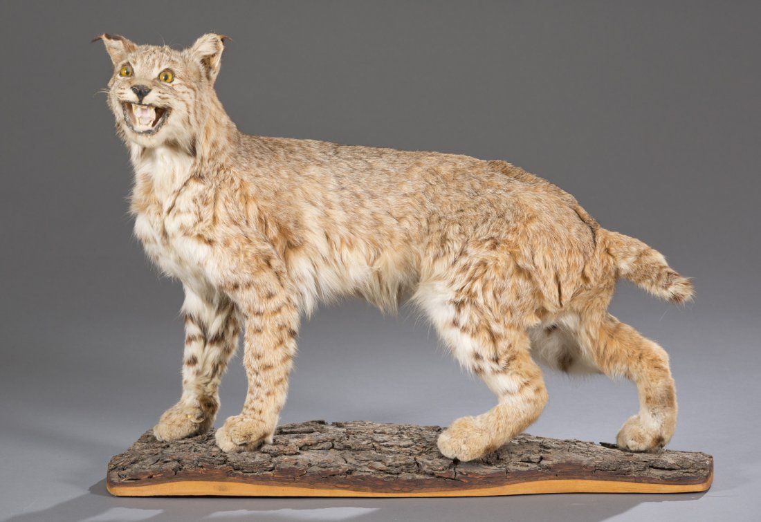 Bobcat Mounted Taxidermy