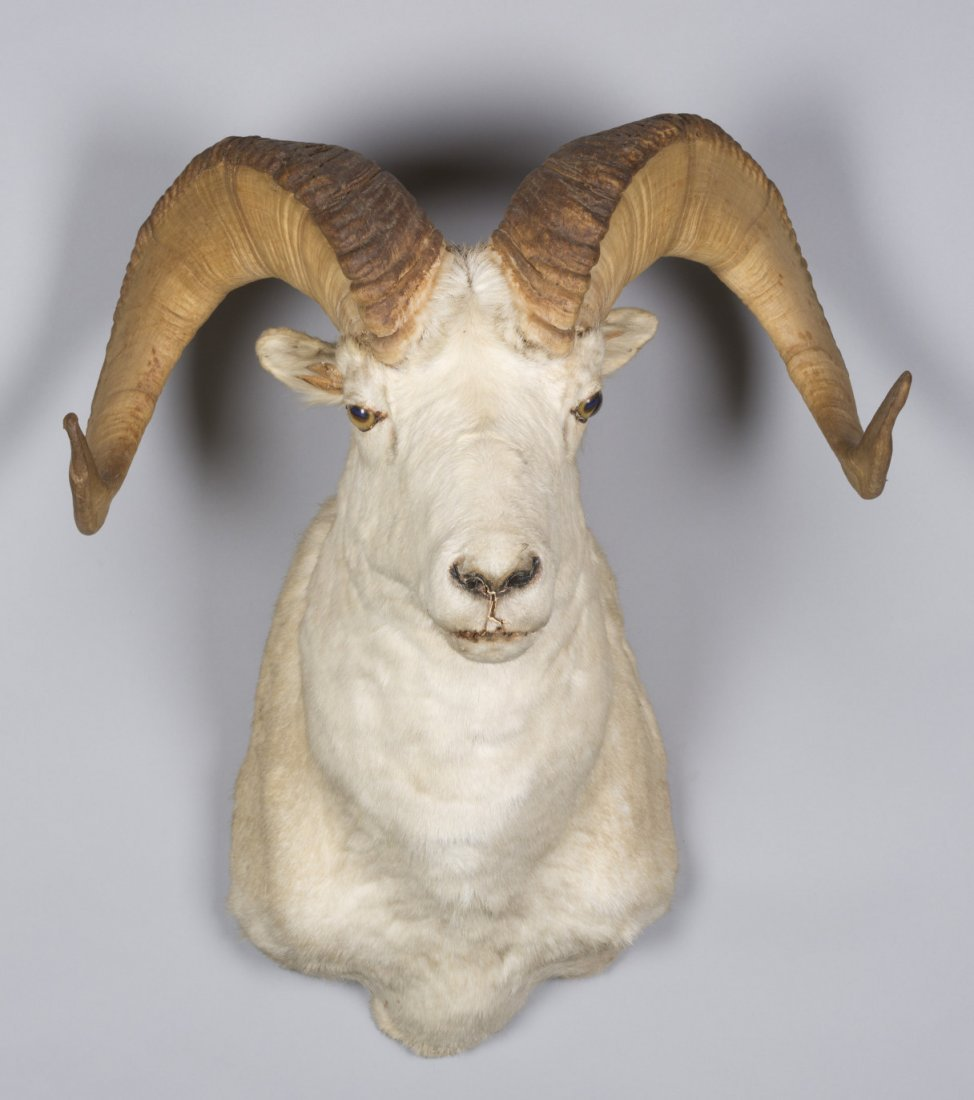 White Big Horn Sheep Taxidermy Mount