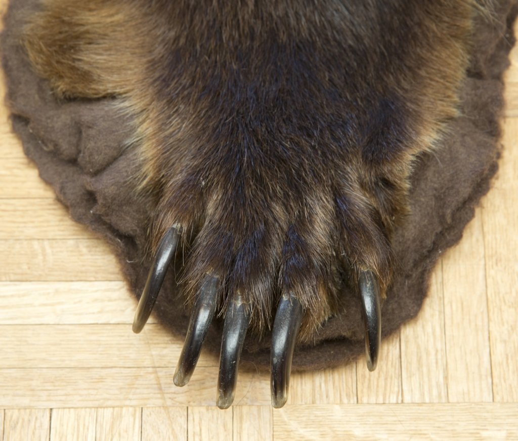 Taxidermy Brown Bear Rug - 4