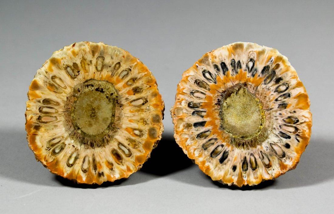 A pine cone Araucaria mirabilis  (Jurassic age) cut in