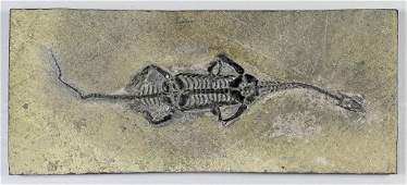 A fossil reptile Keichosaurus sp. (Triassic age), from