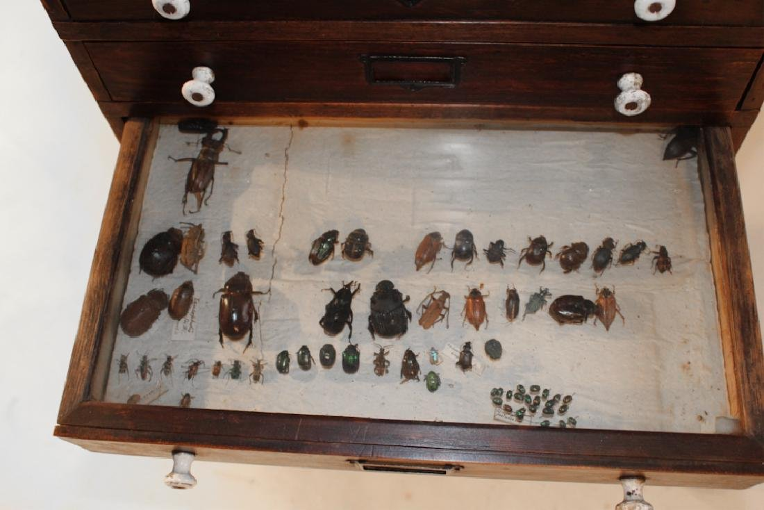 Rare Victorian Taxidermy Insect Collectors Cabinet - 5