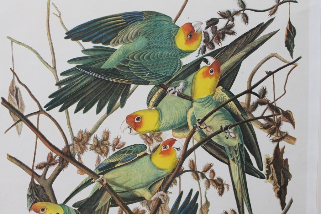 John James Audubon, Bien Edition, Carolina Parrot - 2