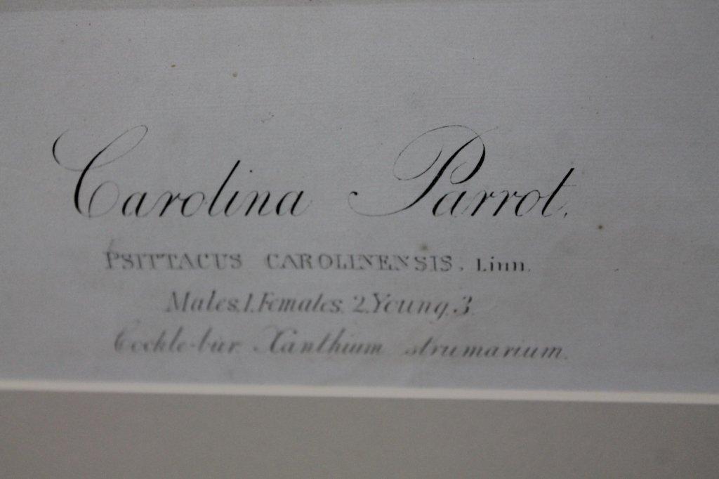 John James Audubon, Bien Edition, Carolina Parrot - 5