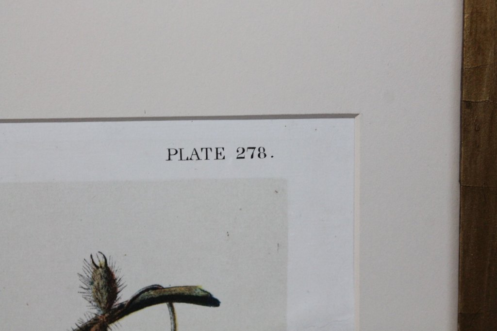 John James Audubon, Bien Edition, Carolina Parrot - 6