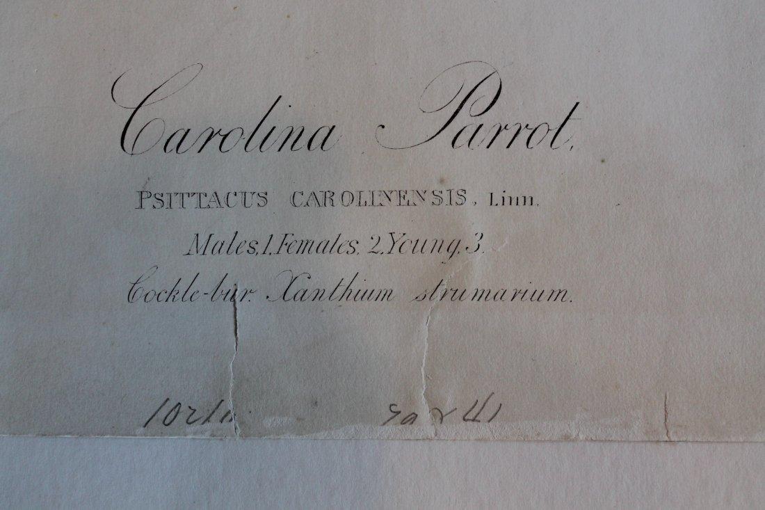 John James Audubon, Bien Edition, Carolina Parrot - 8