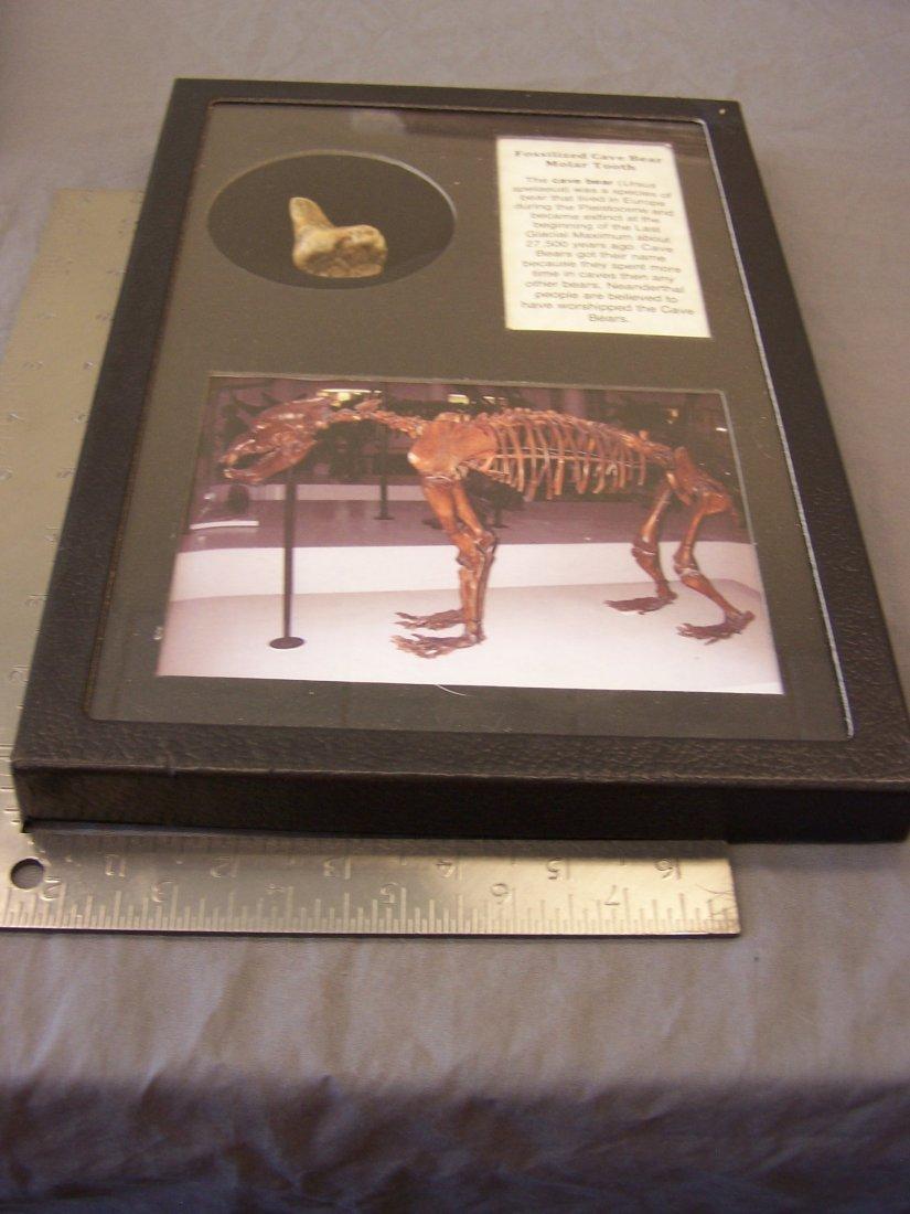 Fossilized Cave Bear Molar Ursus Spelaeus