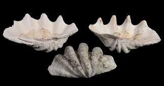 Three giant clam half shells  Tridacna gigas