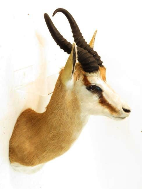 AFRICAN SPRINGBOK TAXIDERMY WALL MOUNT