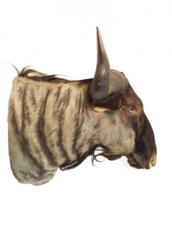 AFRICAN BLUE WILDEBEEST TAXIDERMY MOUNT