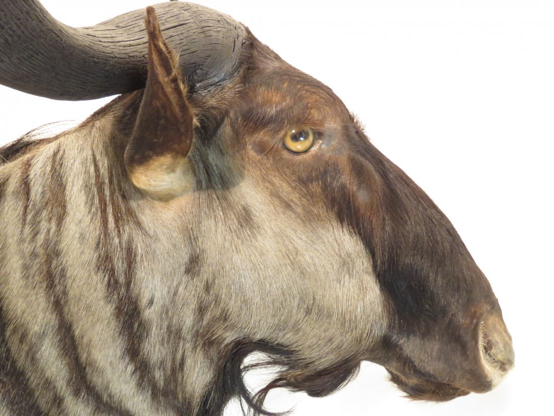 AFRICAN BLUE WILDEBEEST TAXIDERMY MOUNT - 2