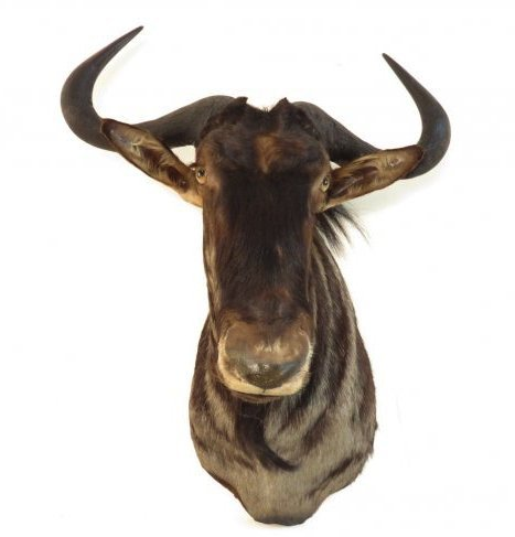 AFRICAN BLUE WILDEBEEST TAXIDERMY MOUNT - 3