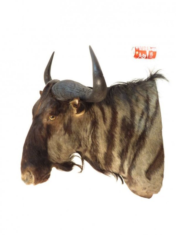 AFRICAN BLUE WILDEBEEST TAXIDERMY MOUNT - 4