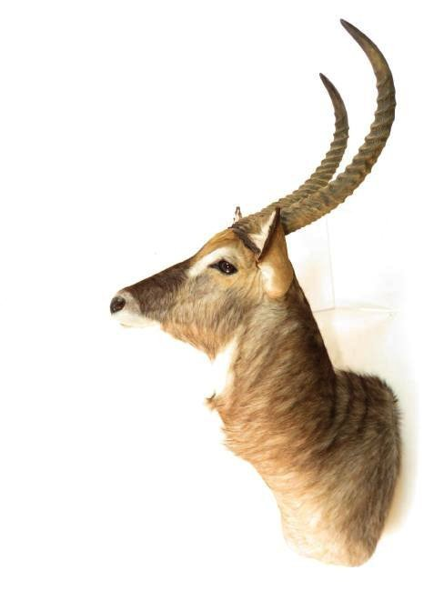 AFRICAN WATERBOK TAXIDERMY MOUNT