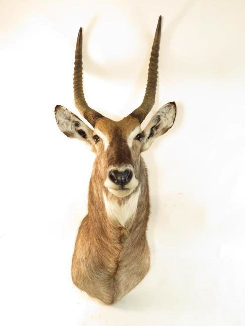 AFRICAN WATERBOK TAXIDERMY MOUNT - 2