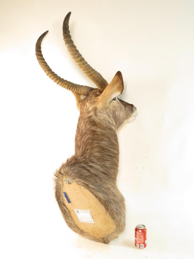 AFRICAN WATERBOK TAXIDERMY MOUNT - 4