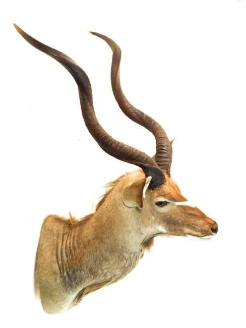 AFRICAN KUDU TAXIDERMY WALL MOUNT