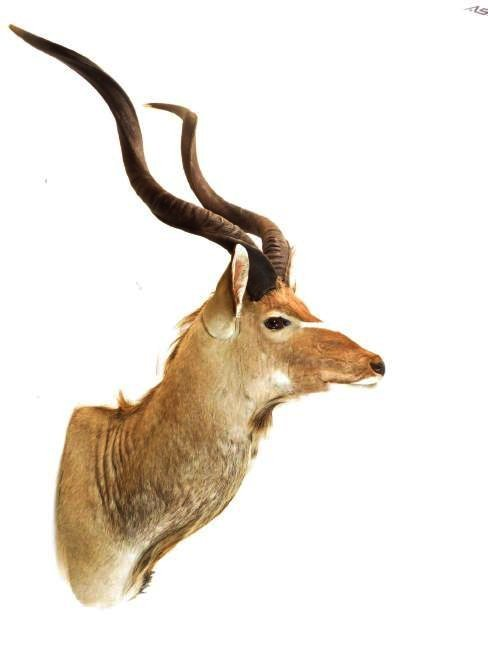 AFRICAN KUDU TAXIDERMY WALL MOUNT - 2