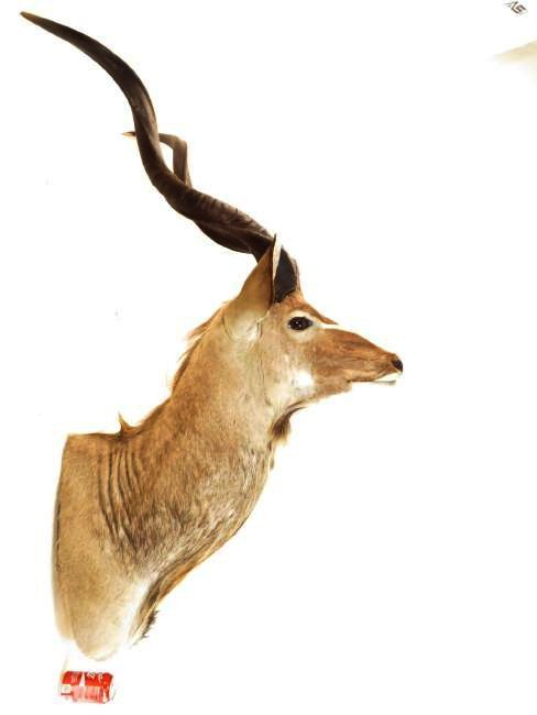 AFRICAN KUDU TAXIDERMY WALL MOUNT - 4