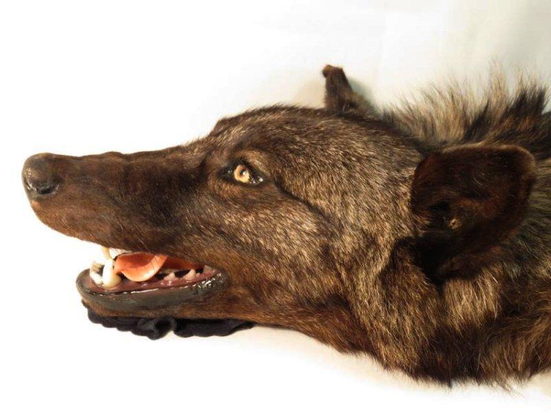 RARE CANADIAN DARK FUR WOLF SKIN TAXIDERMY RUG - 2