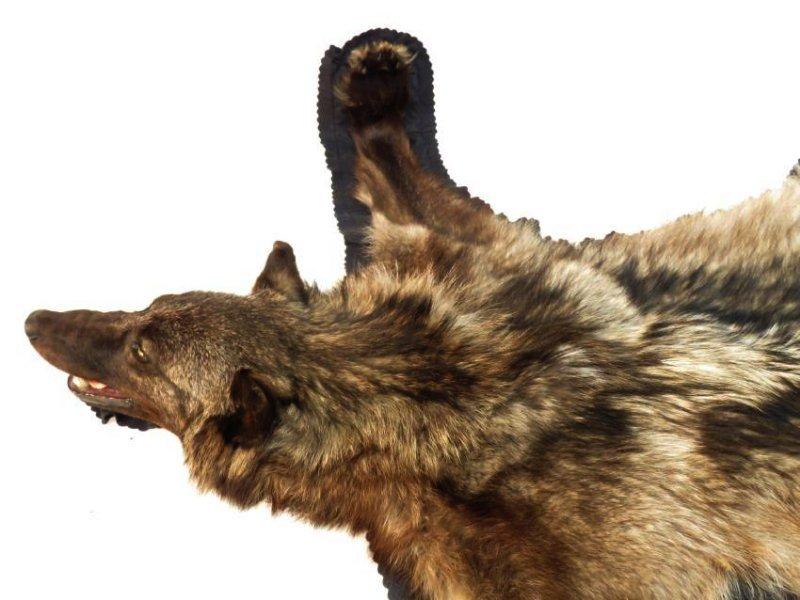 RARE CANADIAN DARK FUR WOLF SKIN TAXIDERMY RUG - 5