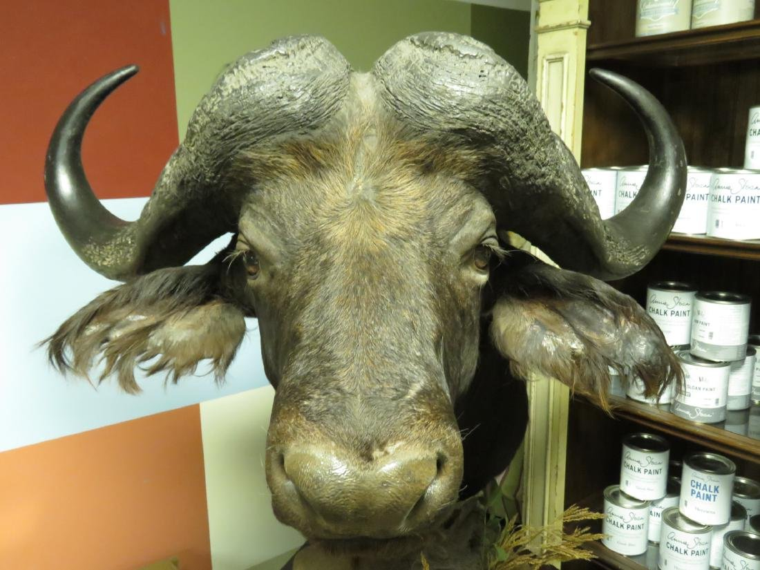 HUGE TAXIDERMY MOUNTED AFRICAN CAPE BUFFALO - 2
