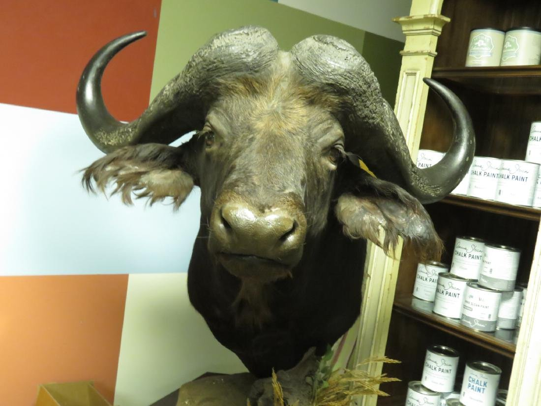 HUGE TAXIDERMY MOUNTED AFRICAN CAPE BUFFALO - 7