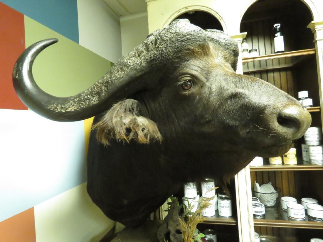 HUGE TAXIDERMY MOUNTED AFRICAN CAPE BUFFALO - 8