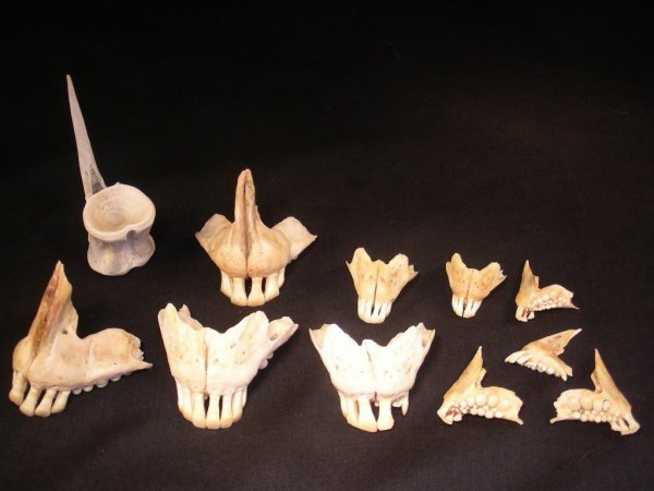 614: GROUP OF 11 PC SHEEP BONES Jaws teeth etc. WEIRD!