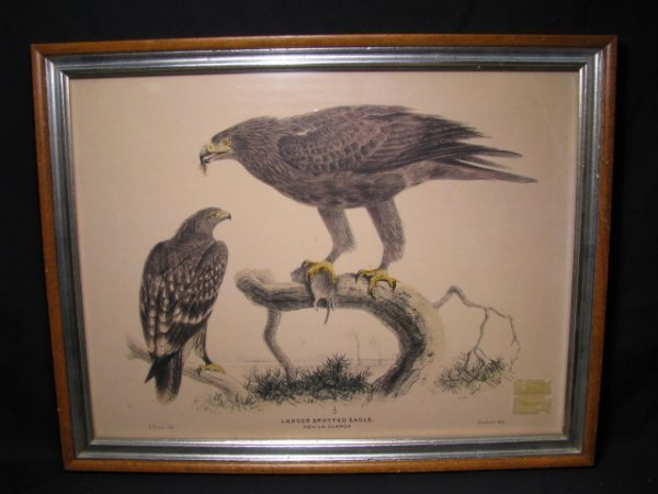 """674: E. NEALE COLORED PRINT """" LARGER SPOTTED EAGLE"""""""