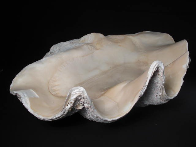 88: SOUTH PACIFIC NATURAL GIANT CLAM SHELL