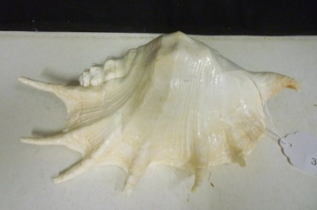 "CONCH SHELL: 11"" LONG AND 3.5"" HIGH GORGEOUS CONCH SHEL"