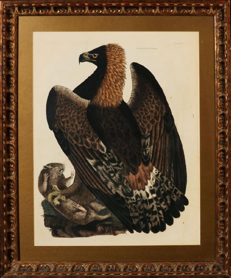 PRIDEAUX JOHN SELBY, GOLDEN EAGLE FEMALE, C. 1820 - 10