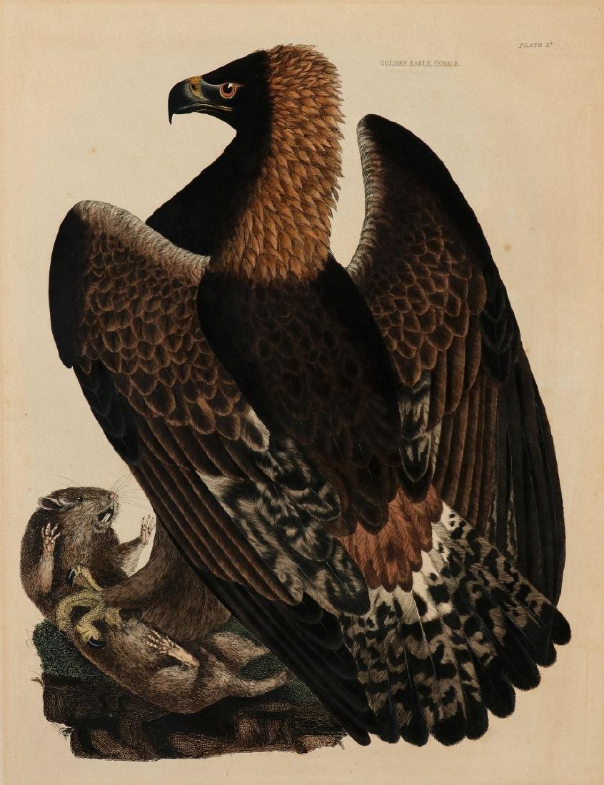 PRIDEAUX JOHN SELBY, GOLDEN EAGLE FEMALE, C. 1820