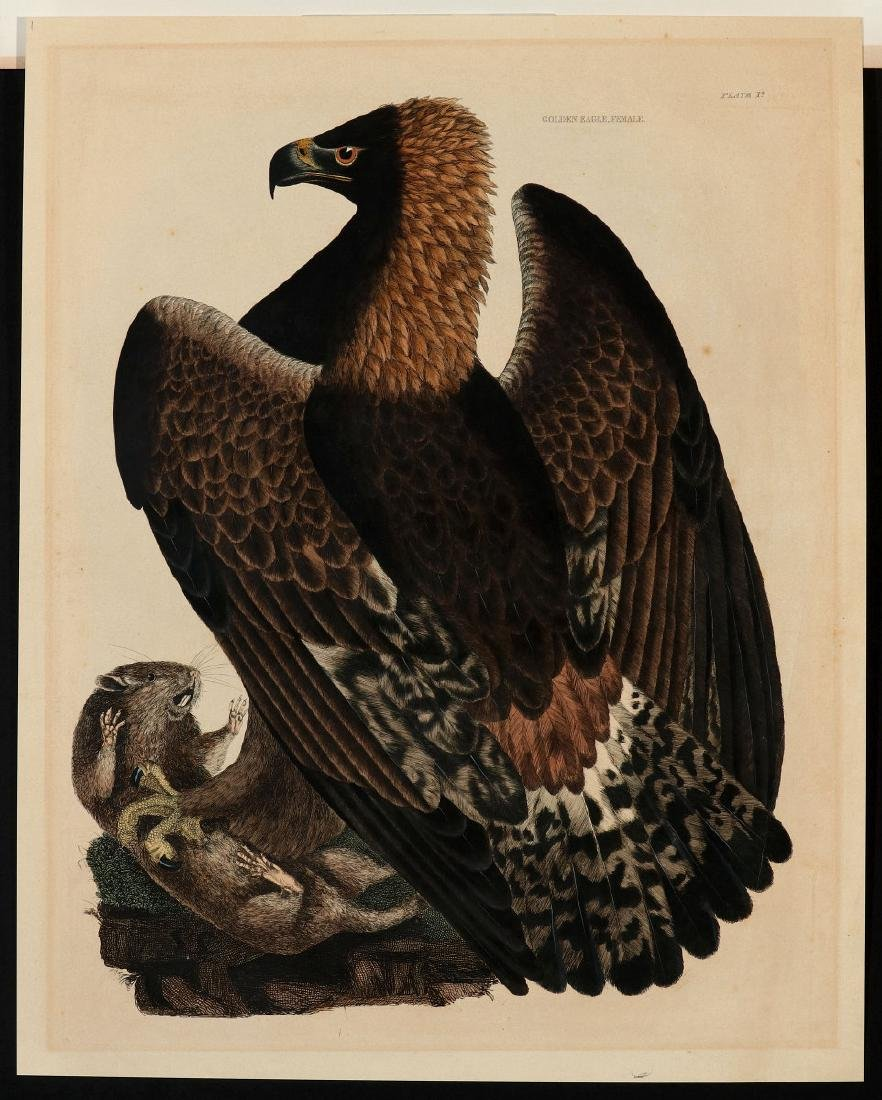 PRIDEAUX JOHN SELBY, GOLDEN EAGLE FEMALE, C. 1820 - 2