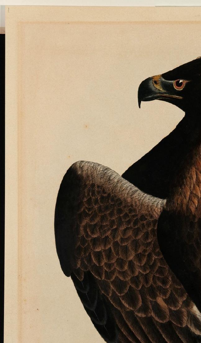PRIDEAUX JOHN SELBY, GOLDEN EAGLE FEMALE, C. 1820 - 3