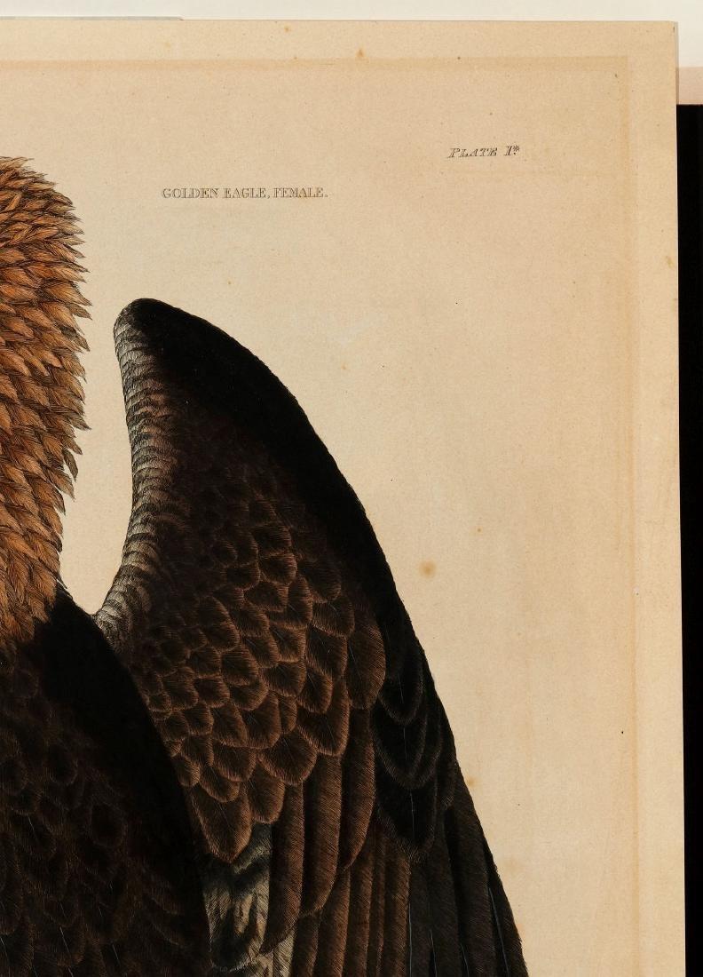 PRIDEAUX JOHN SELBY, GOLDEN EAGLE FEMALE, C. 1820 - 4