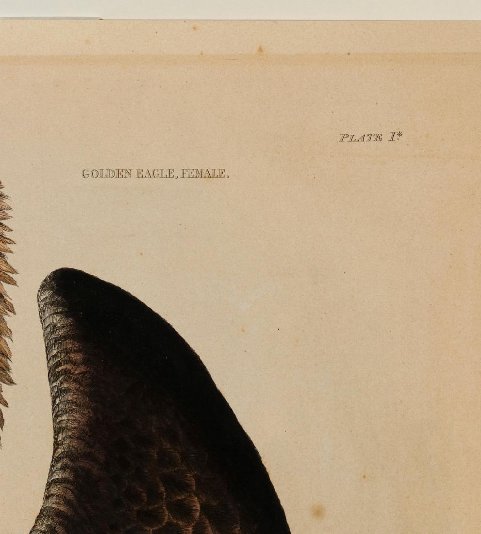 PRIDEAUX JOHN SELBY, GOLDEN EAGLE FEMALE, C. 1820 - 8