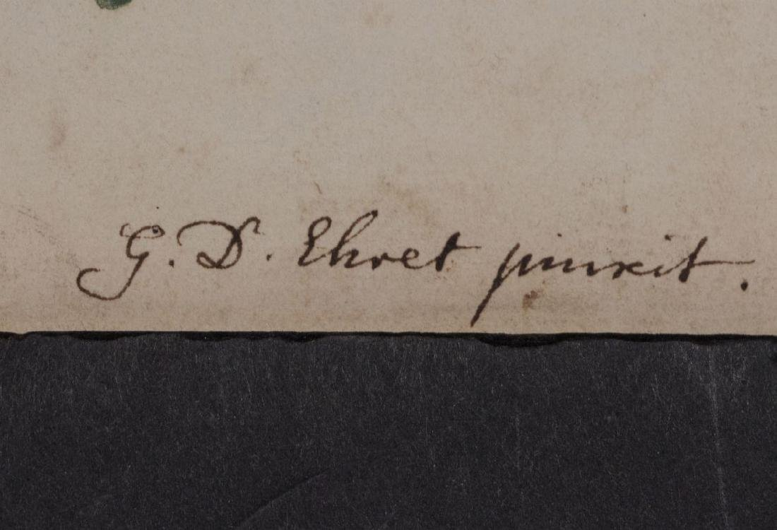 GEORG DYONIS EHRET (1710-1770) BOTANICAL ILLUSTR.. - 7