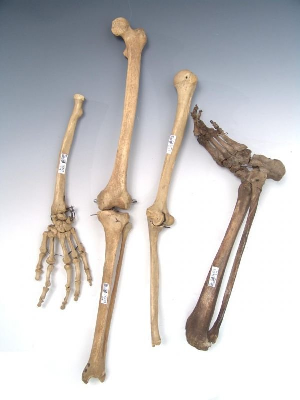 1009: HUMAN SKELETON ARM, LEG, HAND AND FOOT