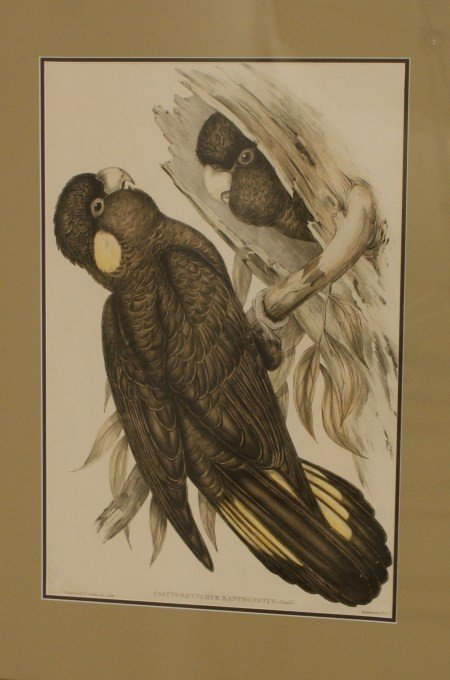 7: C. 1850 GOULD SOUTHERN YELLOW TAILED COCKATOO