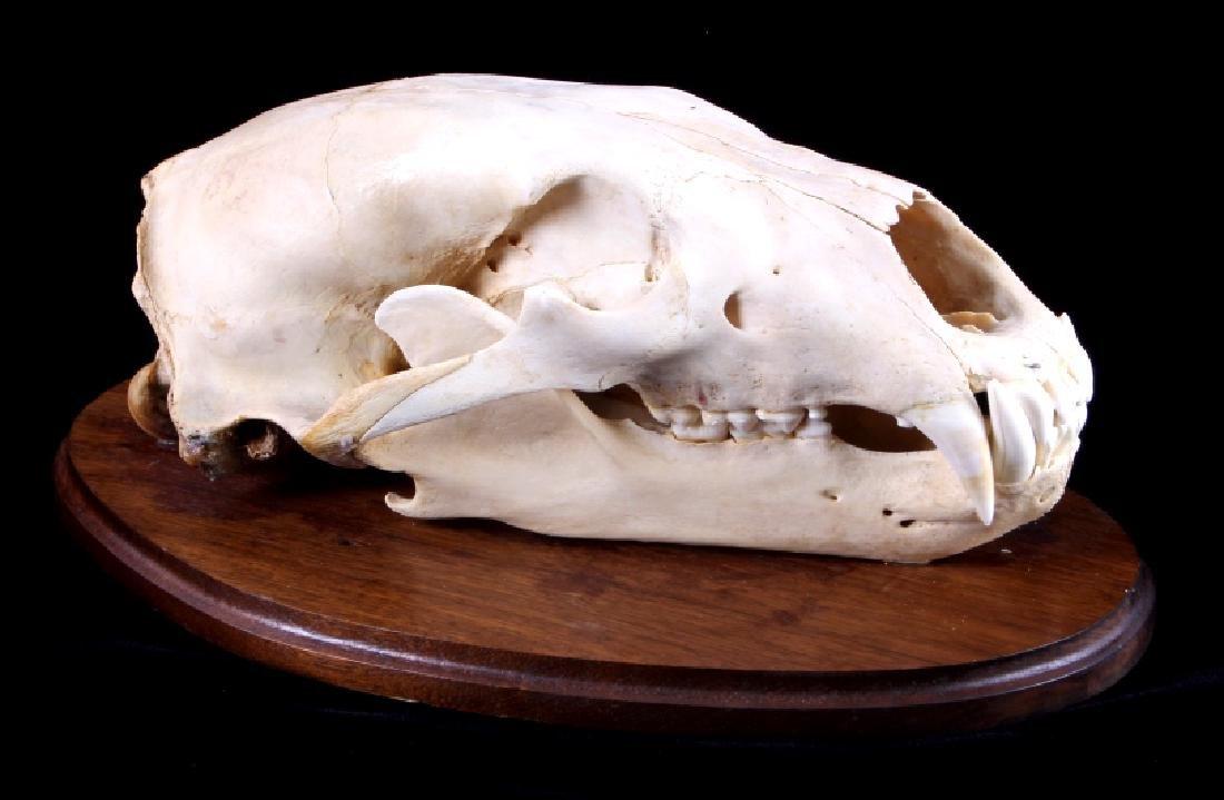 RARE Trophy Alaskan Polar Bear Skull