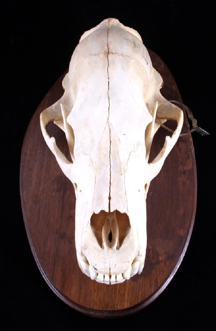 RARE Trophy Alaskan Polar Bear Skull - 3