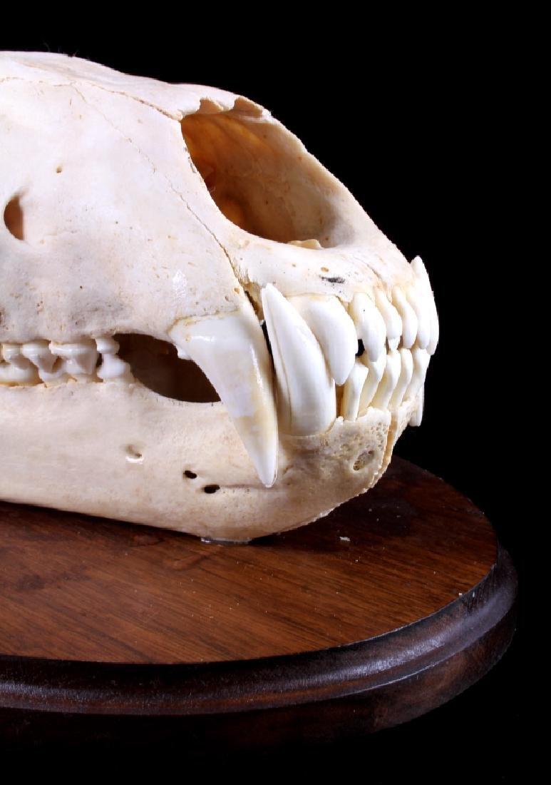 RARE Trophy Alaskan Polar Bear Skull - 5