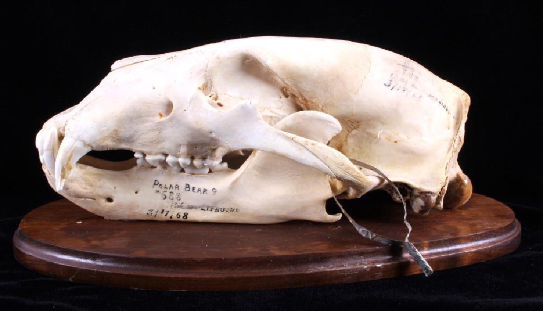 RARE Trophy Alaskan Polar Bear Skull - 6